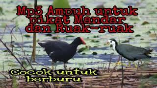 Suara Pikat Ampuh Burung Mandar Amp Ruak Ruak