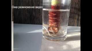видео К культуре филодендрона