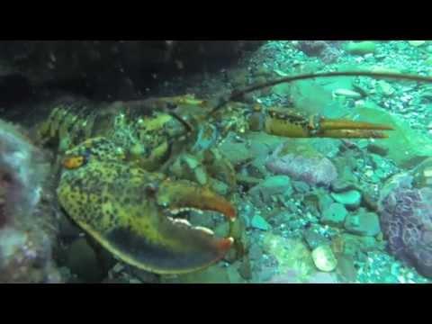 North American Lobster