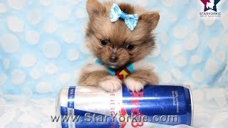 Rare Tiny Micro Teacup Pomeranian Puppy In Los Angeles Micro Max By Staryorkie.com