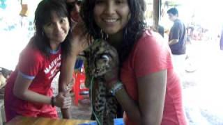 Tigrillo Cachorro en  la selva central del Peru 2009