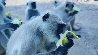 Gambar cover Wild Monkeys funny video eating Banana - Cute Animals video.Monkey Video.Bandar