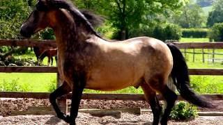 Morgan horse.Very beautiful horse.Good video