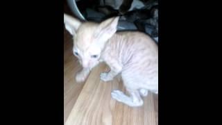 корниш рекс котята питомника Корнелита