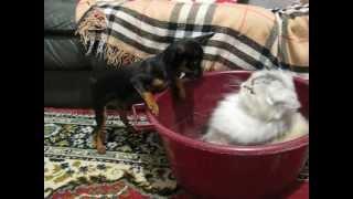 Карликовый пинчер против Персидской кошки!