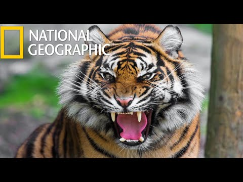 American Tiger National Geographic Hd Youtube