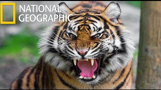 American Tiger  (National Geographic) / HD thumbnail