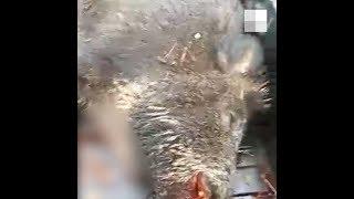 Охота на кабана в Башкирии с вертолета