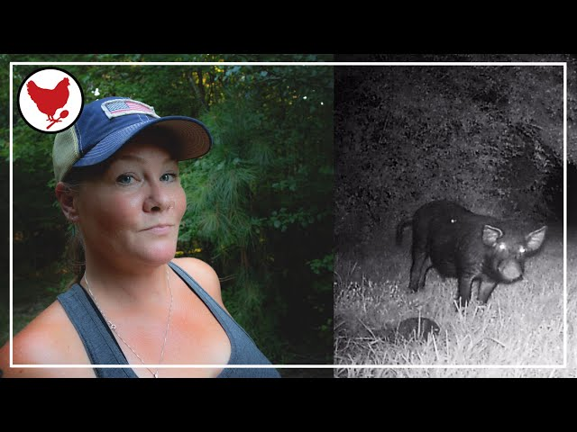 THE WILD HOGS ARE BACK!   A Good Life Farm