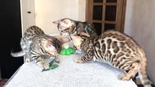 Питомник Wild loveliness. Бенгальские котята на продажу.