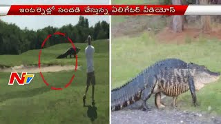Giant Alligator Found on Florida Golf Course | NTV