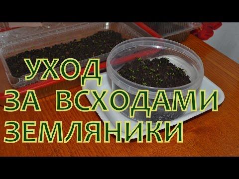 Выращивание ЗЕМЛЯНИКИ (КЛУБНИКИ) из семян. УХОД за молодыми сеянцами (всходами)