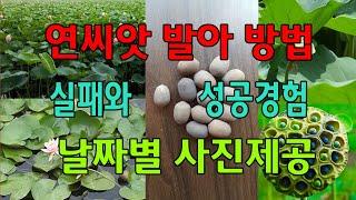 연씨앗 발아 방법 핵심 설명, 연씨키우기 날짜별 사진 …
