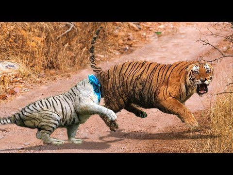 WOW! When The Forest God Fight For Territory, Big Cat Destroy Fellow creature 1 way merciless