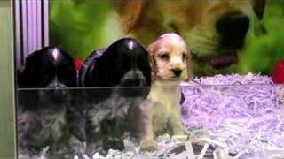 Purebred Cocker Spaniels Puppies