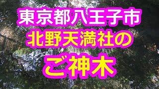 北野天満社のご神木 - 大きなケヤキの木(東京都八王子市)