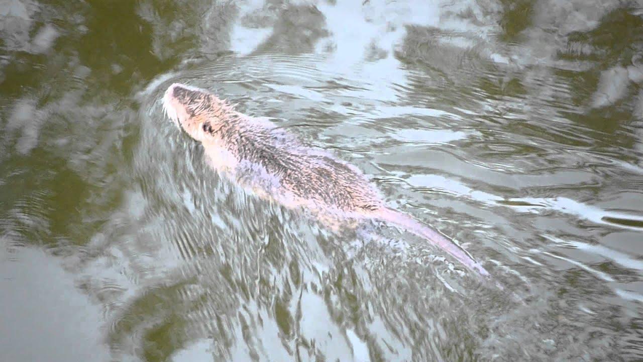 Huge Water Rat Swimming - Large Nutria in Texas - YouTube