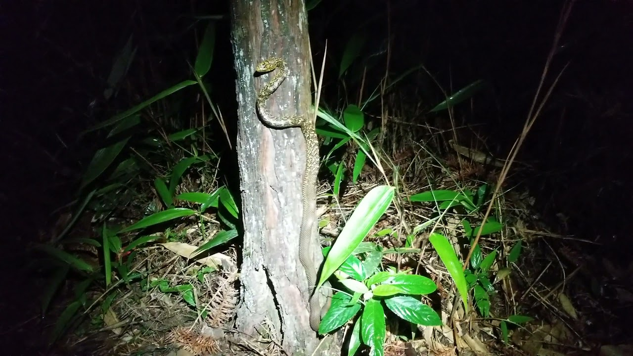 herping in Wuyishan some more. Yushen horned toad and a young king rat climbing a tree at night