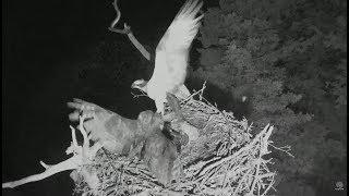 Audubon Hog Island Osprey Cam ~ GHO (Owl) Attacks Osprey Nest ~Takes 2nd Chick 7.12.18