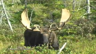 Trophy Moose Hunting in Newfoundland - Island Safaris