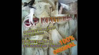 Download Lagu SP KALTIMTARA RATU LIUR WALET PUTIH TERUJI MAMPU MENYEDOT BURUNG WALET TETANGGA mp3