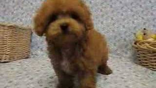 Tiny Toy Poodle... Wow Wow Wow