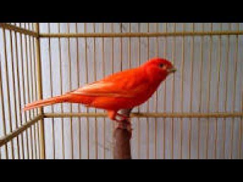 Suara Kicau Burung Kenari Panjang Gacor