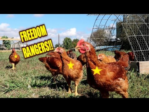 CHICKENS ~ FREEDOM RANGERS