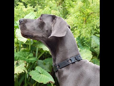 Great Dane electric leash issie default training