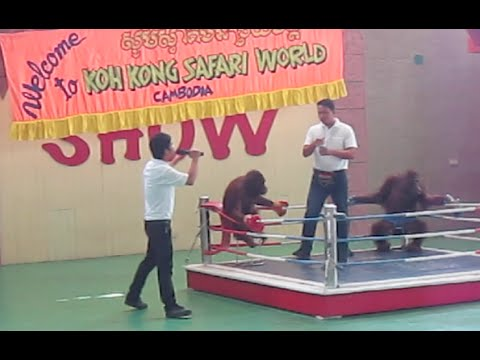 Urang Utan monkey boxing show at Koh Kong Safari World