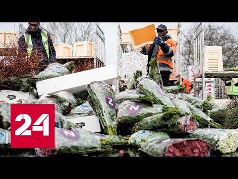 Продажи упали до нуля: в Нидерландах из-за коронавируса уничтожают тысячи цветов - Россия 24