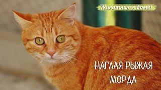 """""""Наглая рыжая морда"""" - прикольный рассказ рыжего кота."""