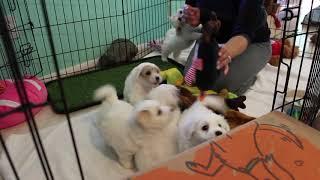 Coton Puppies For Sale - Kara 11/10/20
