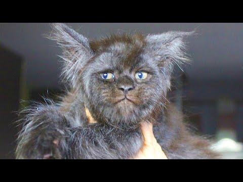 Extrem seltene Maine Coon Katze wird in Russland geboren!