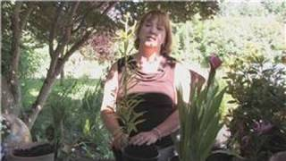 Flower Gardening : How to Grow Easter Lilies
