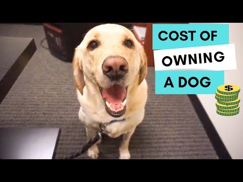 How much does it Cost to own a dog? - Zazu the Labrador