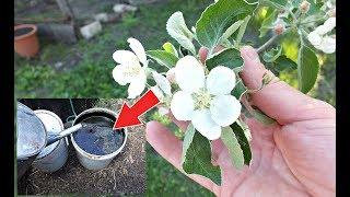 Подкормите этим яблоню в мае во время цветения для обсыпного урожая яблок!