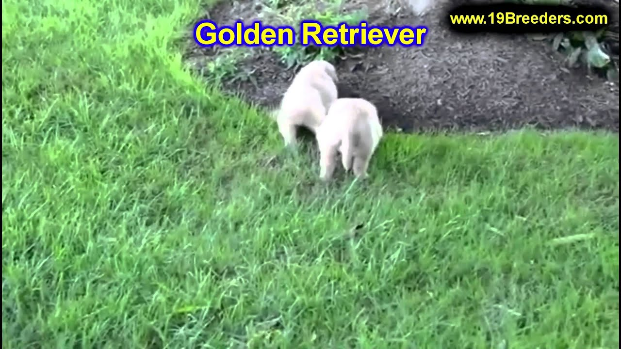 Golden Retriever Puppies For Sale In Cincinnati Ohio Oh Westerville Huber Heights Lima La