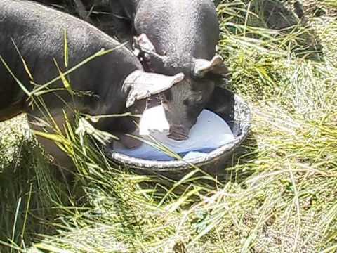 Pigs love milk!