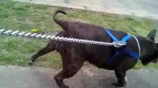 Staffordshire Bull Terrier Cross Pitbull