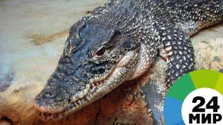 Из новосибирского шапито сбежал и устроил переполох крокодил Вадик