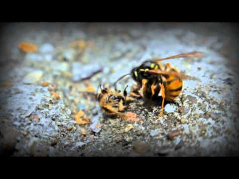 giant japanese hornet sting wound