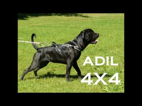 bandog adil challenge Travel Video