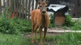 Zwierzęta: Sarna / Animals: Roe Deer