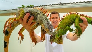 Highly INVASIVE Iguana! Catch Clean Cook!