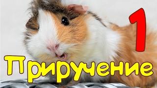 🐹Приручение морской cвинки: Первые шаги 🐹 Пипа зевает )))