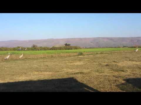 Agamon Hahula In Northern Israel - Grus (עגורים)