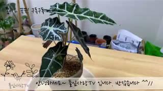 플랜테리어 거북 알로카시아 풀잎사랑tv