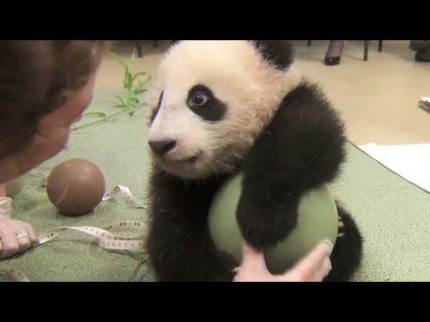 Distraction: Baby panda loves ball