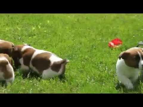 Regalo Bellissimi Cuccioli Di Jack Russel Terrier 100 Di Razza Pura